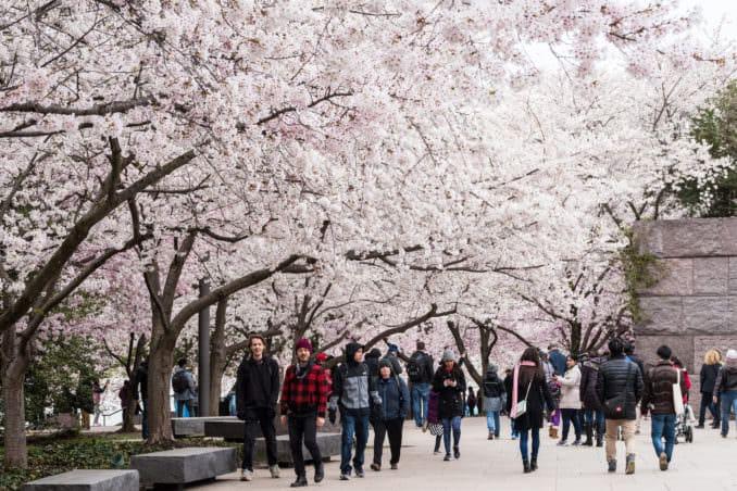 DC Cherry Blossom Watch Update: April 7, 2018
