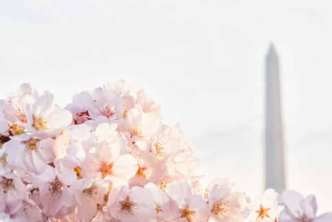National Cherry Blossom Festival in Washington DC with Washington Monnument