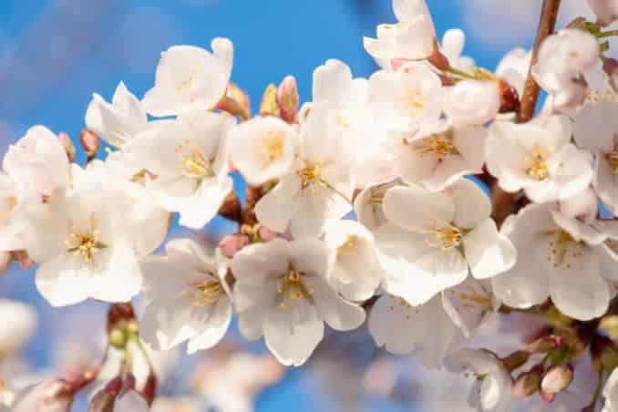Washington DC Cherry Blossoms 2017 - March 22